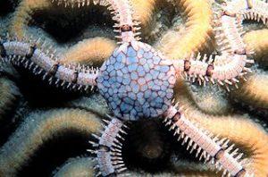 Ophionereis reticulata