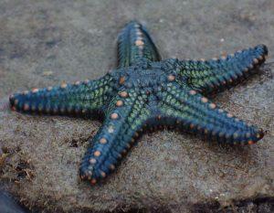 starfish_01