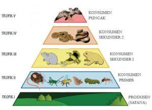 Piramida Rantai Makanan