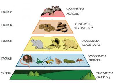 Piramida Rantai Makanan Dan Penjelasannya Dosenbiologi Com