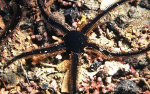 Ophiocomina nigra
