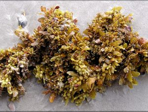 sargassum-new
