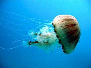 Compass jelly fish (Chrysaora hysoscella)
