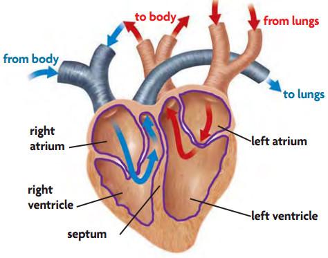Sistem Peredaran Darah pada Aves Beserta Gambarnya