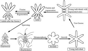 Proses singkat daur hidup bintang laut