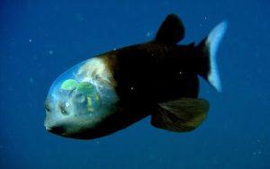 Ikan Macropinna Microstoma