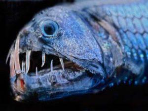 ikan viper