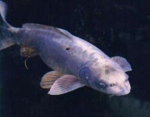 break the chain fish