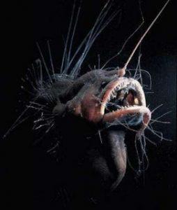 fanfin sea devil