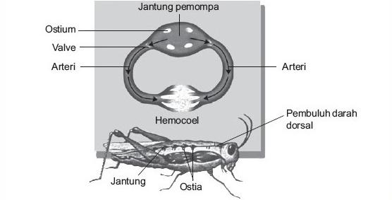 Peredaran Darah Pada Serangga Beserta Gambarnya Dosenbiologi Com