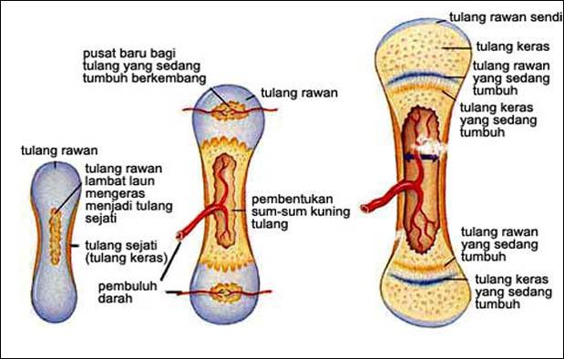 Proses Pembentukan Tulang Secara Singkat