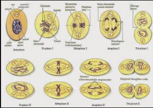 2 Pembelahan Meiosis – Ciri Ciri dan Tahapan Proses Pembelahan