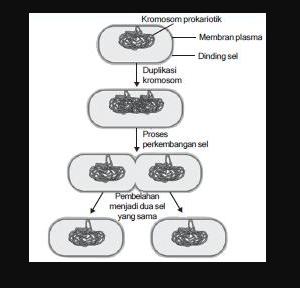 4 Fase Pembelahan Biner Pada Bakteri dan Penjelasannya
