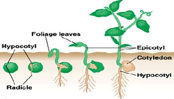 Pertumbuhan dan Perkembangan pada Tumbuhan – Pengertian dan Faktornya