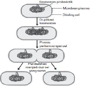 Reproduksi Aseksual pada Bakteri