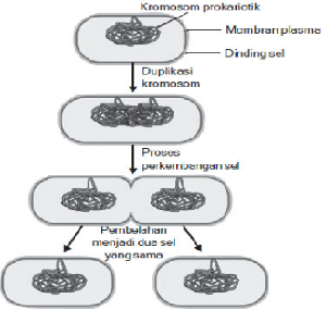 2 Reproduksi Bakteri : Tahapan, Cara dan Gambar Ilustrasi