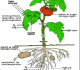 Respirasi pada Tumbuhan : Proses, Manfaat, Jenis, Faktor dan Zat Penghambat