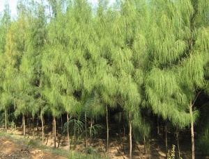 16 Contoh Tumbuhan Gymnospermae beserta Gambar, Penjelasan dan Manfaat