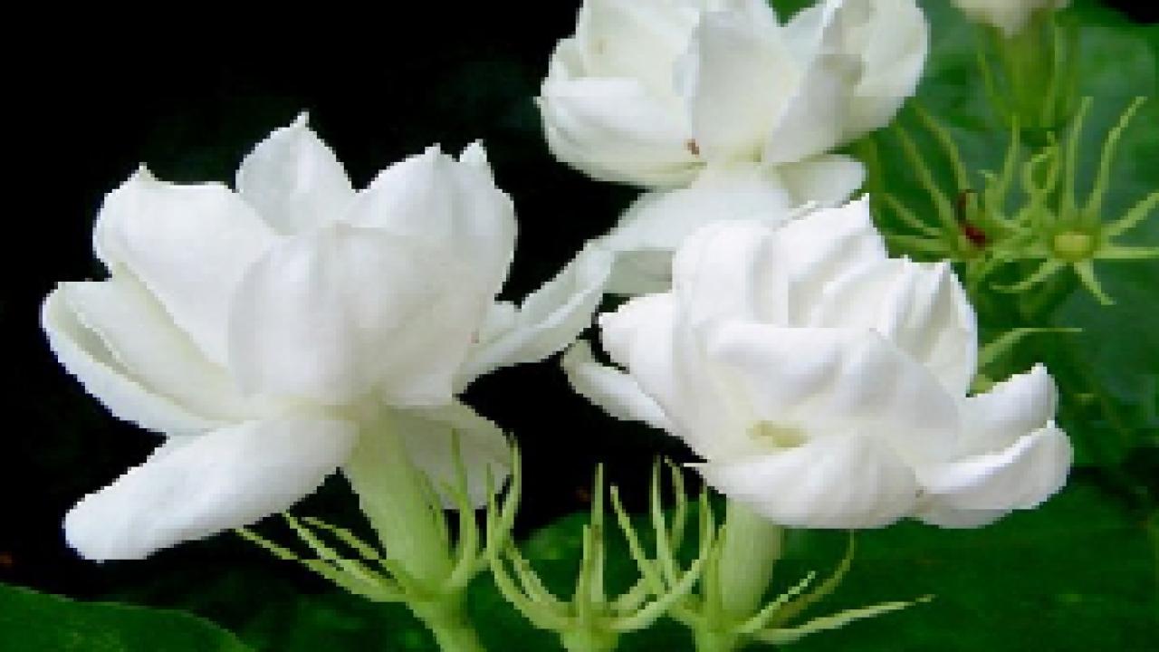 Klasifikasi Dan Morfologi Bunga Melati Dan Manfaatnya Dosenbiologi Com