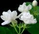 Klasifikasi dan Morfologi Bunga Melati dan Manfaatnya