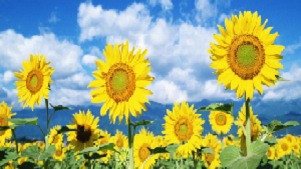 Contoh Teks Laporan Hasil Observasi Tentang Bunga Matahari Beserta Strukturnya Seputar Laporan