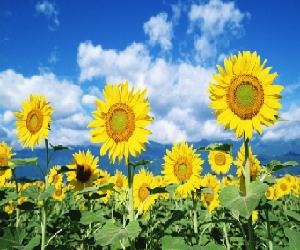 Morfologi Bunga Matahari