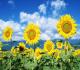Klasifikasi dan Morfologi Bunga Matahari – Kandungan dan Manfaatnya