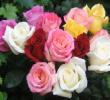 Morfologi Bunga Mawar : Klasifikasi dan Manfaatnya