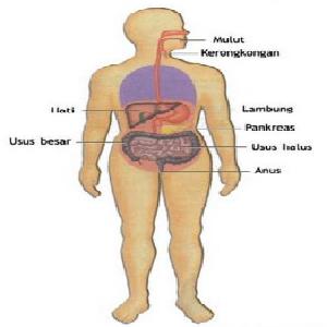 Proses Pencernaan Makanan Secara Singkat Dari Mulut Sampai Usus Dosenbiologi Com