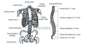 Tulang badan
