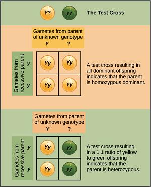 pengertian genetika hukum uji persilangan dan variasi. Black Bedroom Furniture Sets. Home Design Ideas