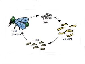 Daur Hidup Lalat dan Faktor yang Mempengaruhi