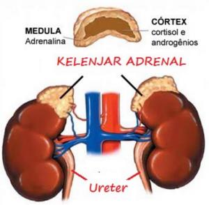 kelenjar-adrenal