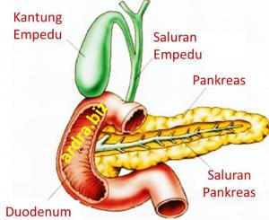 kelenjar-pankreas