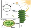 Fungsi Fotosintesis Pada Tumbuhan