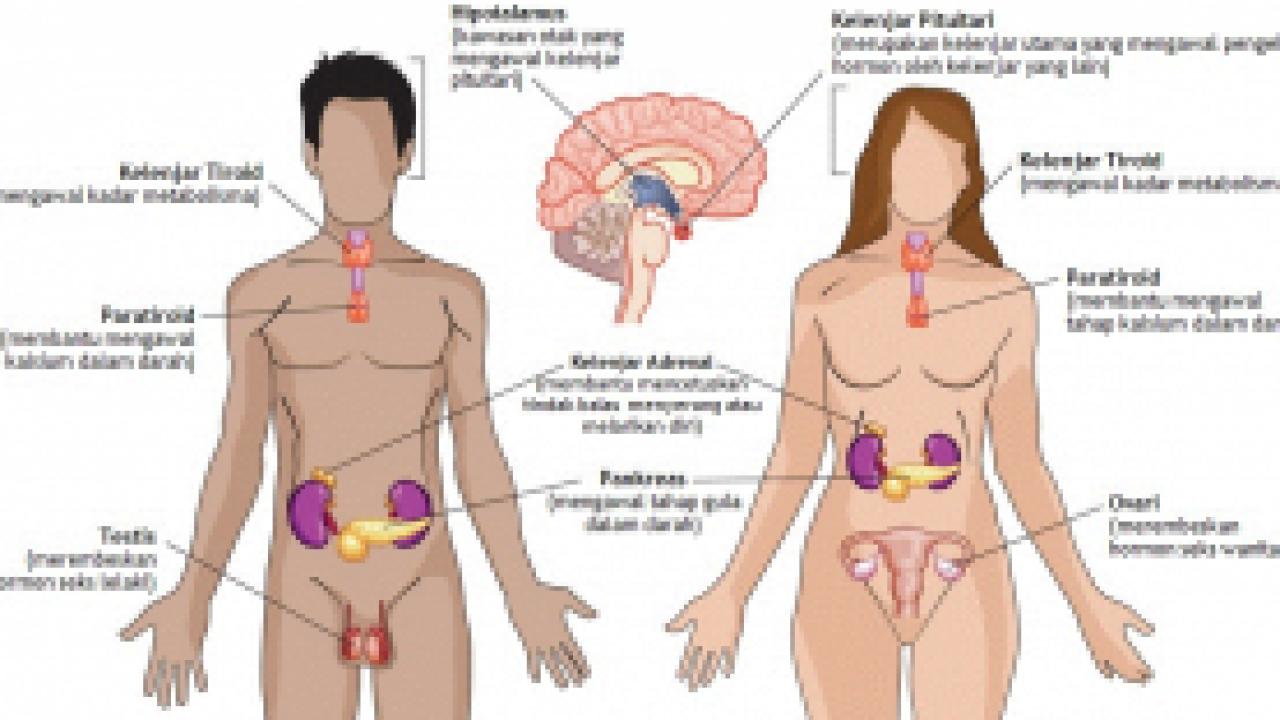 Sistem Hormon Pada Manusia Dan Fungsinya Dosenbiologi Com