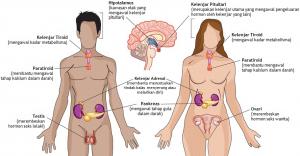 Sistem Hormon Pada Manusia dan Fungsinya