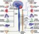 Sistem Saraf Pada Manusia dan Fungsinya