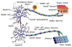 sistem-saraf-pada-manusia