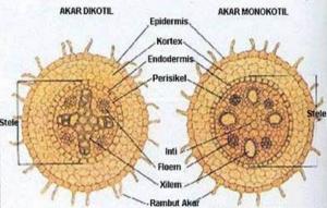 struktur-dan-fungsi-jaringan-akar