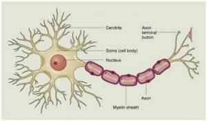struktur-sel-saraf
