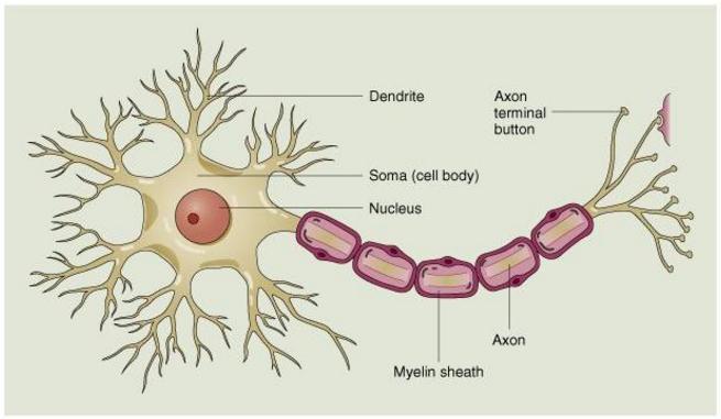 Struktur Sel Saraf dan Fungsinya