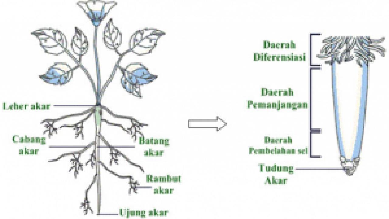 Struktur Dan Fungsi Jaringan Akar Pada Tumbuhan Beserta Gambarnya Dosenbiologi Com