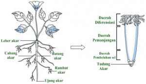 Morfologi (Struktur Luar Akar)