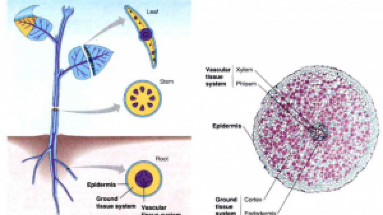 Struktur Dan Fungsi Jaringan Daun Terlengkap Dosenbiologi Com