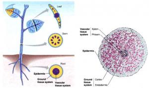 Struktur-dan-fungsi-jaringan-daun
