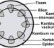 Struktur Dan Fungsi Jaringan Batang Dikotil dan Monikotil