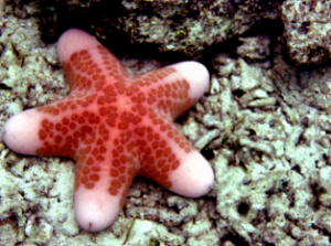Pengertian Echinodermata : Struktur, Fungsi dan Ciri Cirinya