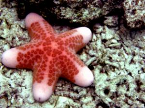 pengertian-echinodermata