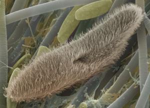 pengertian-protozoa
